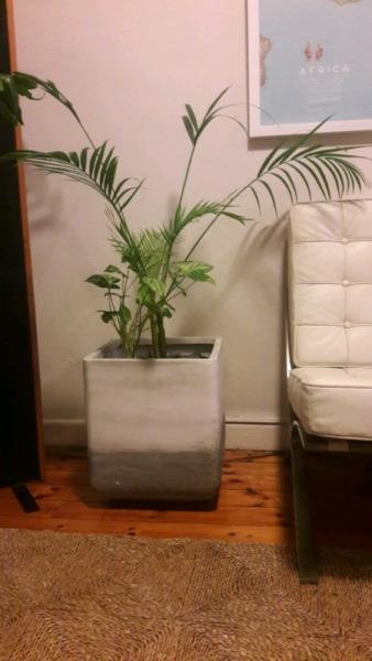 large indoor pot plant